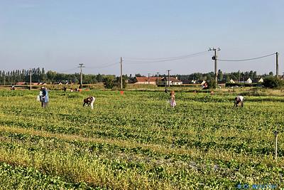 Cueuillette 16 C-Mouton