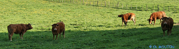 Vache race limousine 4 C-Mouton