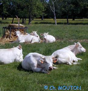 Vaches C-Mouton