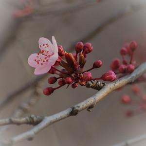 Cerisier rose - Forêt Noire, Allemagne
