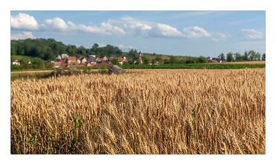 Champ de blé à Mutzenhouse