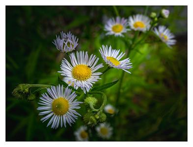 Fleurs de la prairie rhénane