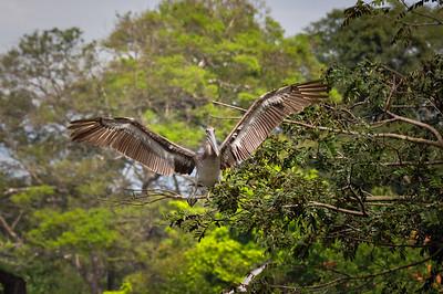 Pelican, Nicoya Peninsula, Costa Rica