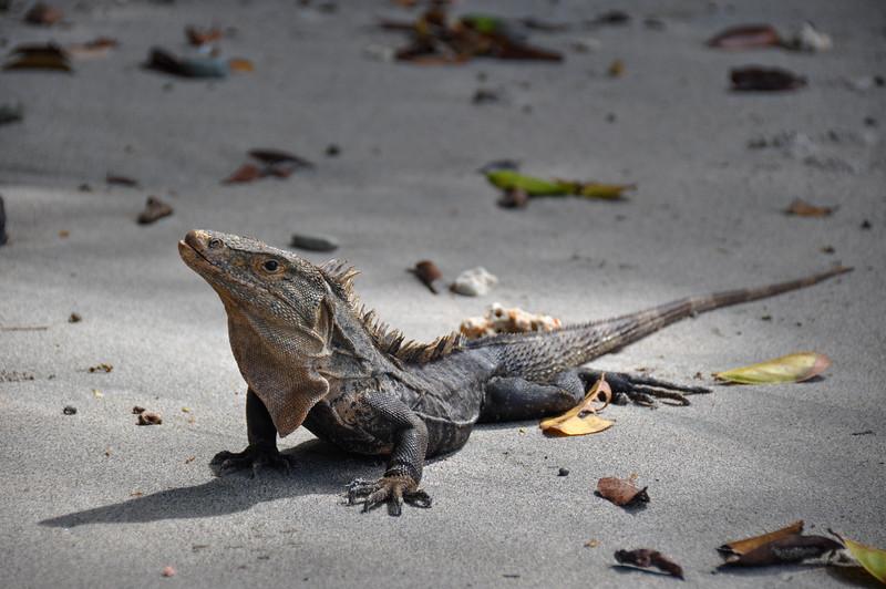 Iguana in Manuel Antonio National Park, Costa Rica