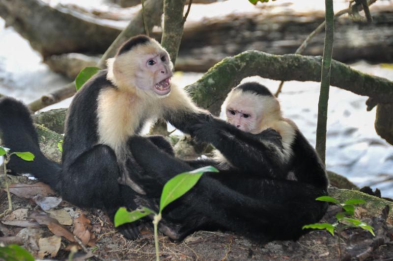 White Faced Capuchin Monkeys in Manuel Antonio National Park, Costa Rica