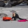 Call the police! White faced capuchin in Manuel Antonio, Costa RIca