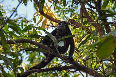 Howler Monkey in Samara, Costa Rica