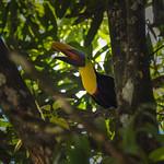 Toucan in Osa Peninsula, Costa Rica