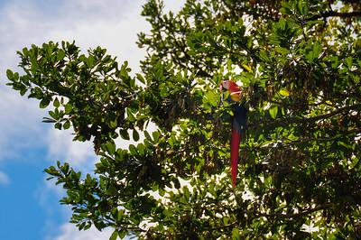 Red Parrot in Osa Peninsula, Costa Rica