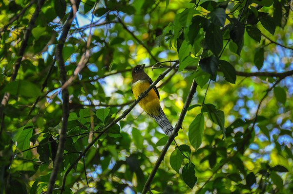 Yellow bird, Corcovado National Park, Costa Rica