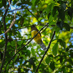 Yellow bird, Corcovado National Park, Costa Rica.