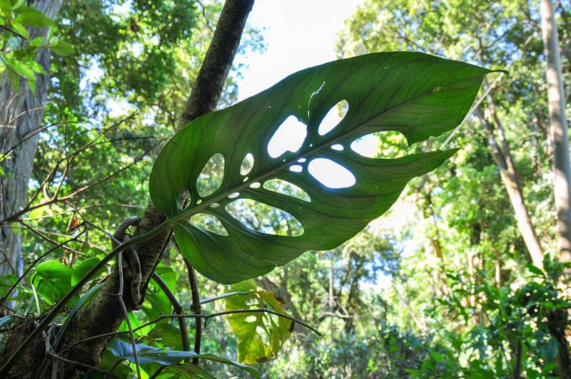 Big Leaf with holes in El Salvador