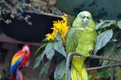 Parrots in Chichicastenango, Guatemala