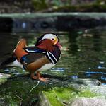 Colorful Mandarin Duck in Panama.