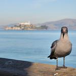 Bird in front of Alcatraz Island, San Francisco, California, USA