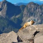 Marmot, Mount Rainier National Park, Washington, USA