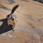 Squirrel starring at Camera, Glacier National Park, Montana, USA