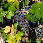 Grapes in wineyard, Napa Valley, California, USA