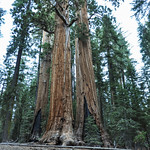 Some of the biggest tree in the world in Sequoia National Park, California, USA