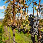 Grapes in a vineyard, Napa Valley, California, USA