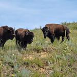 Bisons in the wildlife loop, South Dakota, USA