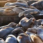 Sea lions at Pier 39, San Francisco, California, USA