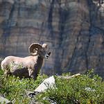 Mouflon, WIldlife as seen in Glacier National Park, Montana, USA