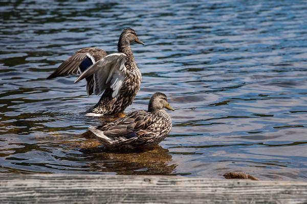 Ducks in Mount Lafayette, New Hampshire, USA