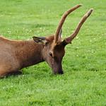 Elk, Yellowstone National Park, Wyoming, USA