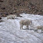 Mountain goats, Glacier National Park, Montana, USA