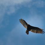 Turkey vulture, Spearfish Canyon, South Dakota, USA