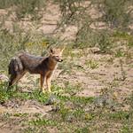 Desert fox in Valle de la Luna, Argentina