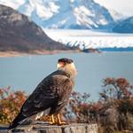 Caracara bird posing in front of Perito Moreno Glacier, Argentina.