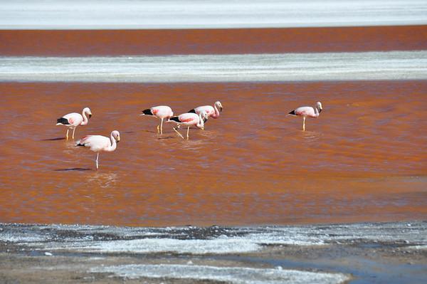 Flamencos in Laguna Colorada, Sur Lipez, South Bolivia