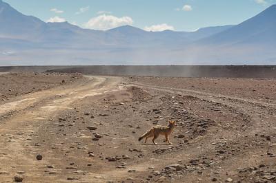 Desert Fox in Sur Lipez, South Bolivia