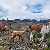 Lamas Family in El Cajas National Park, Ecuador