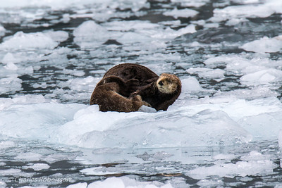 A sea otter nurses her pup on an ice floe.