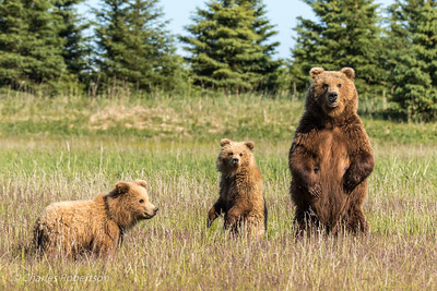 A sow grizzly and her cubs sense danger from a big boar in the distance and stand to get a better look.