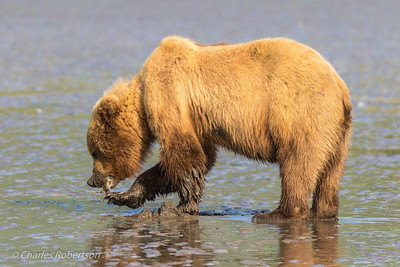 The bear is picking up part of the clam still attached to a piece of shell.
