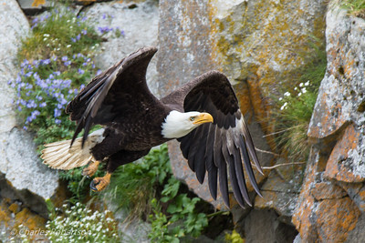 A Bald Eagle heading for a rocky ledge on Duck Island.