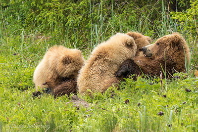This sow grizzly is nursing her three cubs. We were watching her with her cubs for quite awhile before she responded to her cubs low growls that were pleas for milk. These are probably second year cubs.