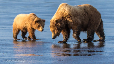 A grizzly sow and her cub returning from clamming at low tide.