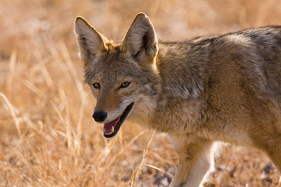 A satisfied coyote