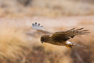 A Northern Harrier on the hunt. Notice the talons, beak and stare!