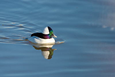 A bufflehead drake in beautiful light.