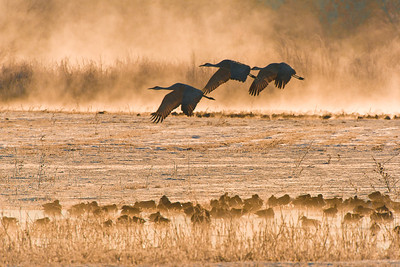 Sandhill Cranes at Sunrise - Bosque del Apache NWR