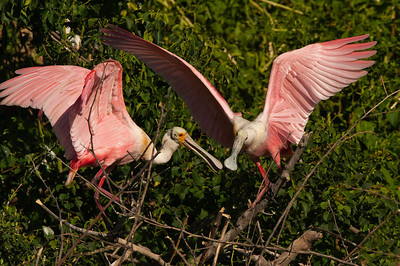Roseatte Spoonbill Pair Interacting
