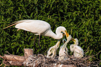 A Great Egret Tending to Her Hungry Chicks