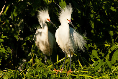 Snowy Egret Pair Showing Breeding Plumage and Color