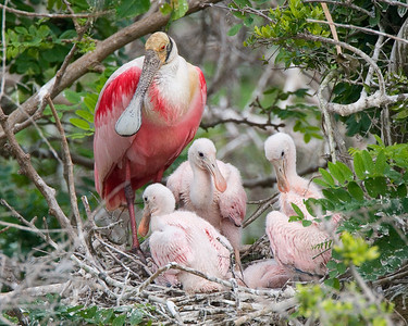Roseatte Spoonbill with Chicks in Nest
